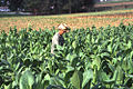 Tobacco field cuba2.jpg