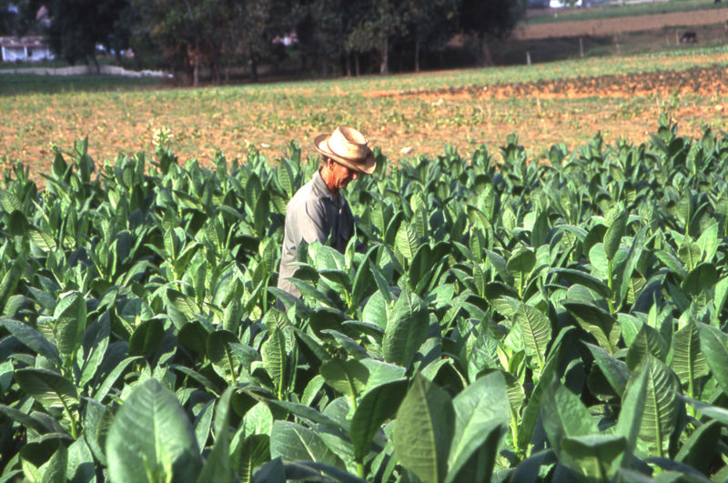 A tobacco field in Pinar del fitta, Cuba. The flowers are removed in order to let the top leaves (corona) grow better.