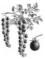 Tomate groseille Vilmorin-Andrieux 1883.png