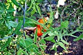 Tomato Plant 11 2012-07-28.jpg