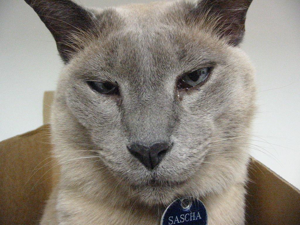 los gatos de raza Tonkinese muy cariñoso, con una gran personalidad
