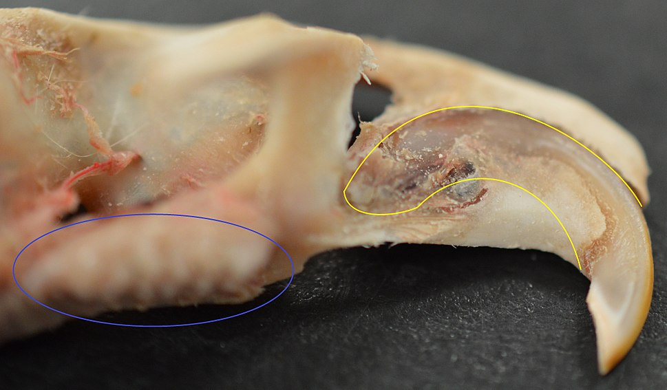 Top Rodent Incisor