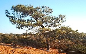 Salt pruning - A Torrey pine shaped by salt pruning.