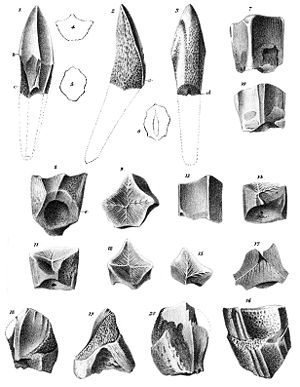 1856 in paleontology - Trachodon teeth