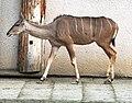 Tragelaphus strepsiceros Dvur zoo 3.jpg