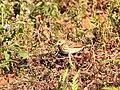 TreePipit DSCN2295.jpg