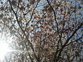 Tree with only flowers in Chennai 07.jpg