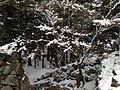 Trees on Mount Azuchiyama in a snowy day.JPG