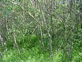 Trembling aspen (Populus tremuloides) - panoramio.jpg