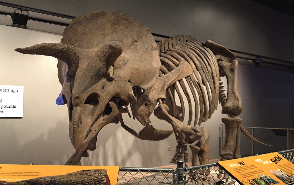 Triceratops Skeleton - National Museum of Natural History (14611729991)a