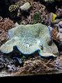 Tridacna at the North Carolina Aquarium at Fort Fisher.jpg