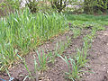 Triticale left, Triticum spelta right, spelt april 9th.jpg