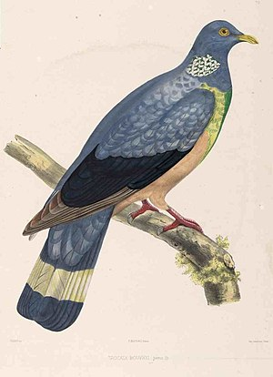 Trocaz pigeon - C L Bonaparte described the trocaz pigeon as Trocaza bouvryi in 1855