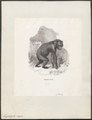 Troglodytes niger - 1700-1880 - Print - Iconographia Zoologica - Special Collections University of Amsterdam - UBA01 IZ19800161.tif