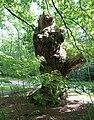 Trogne de châtaignier, forêt domaniale de Bois-d'Arcy, Yvelines 3.jpg