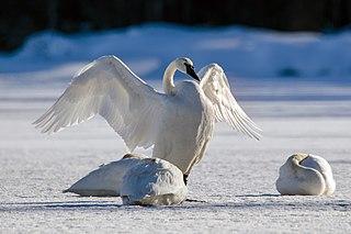 Trumpeter swan species of bird