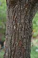 Trunk - Cinnamomum camphora - Santiniketan 2014-06-29 5398.JPG