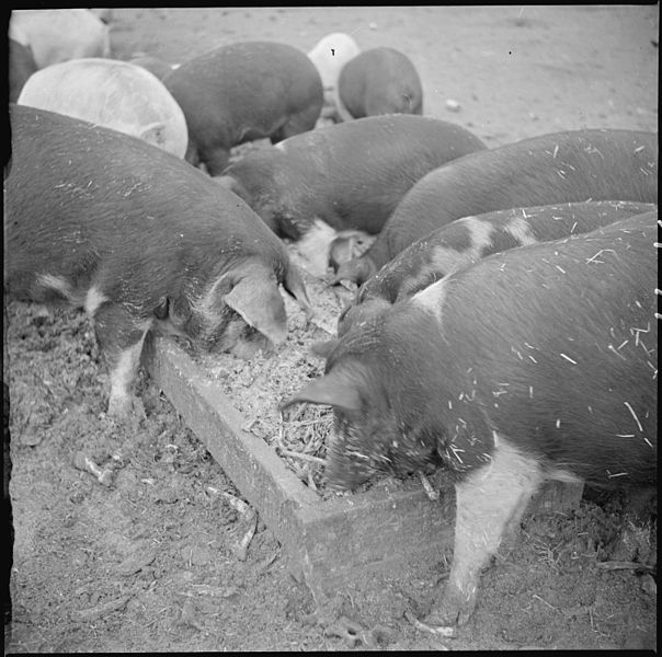 File:Tule Lake Relocation Center, Newell, California. A close up of hogs eating garbage at the temporary . . . - NARA - 536371.jpg