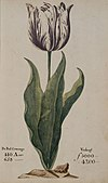 A tulip from a 1637 Dutch catalog