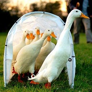 Domestic duck farm animal