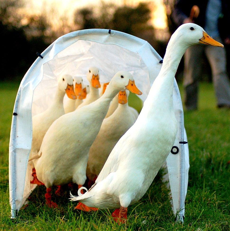 Tunnel of ducks