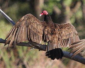 Aves in the 10th edition of Systema Naturae - The turkey vulture was named Vultur aura in 1758