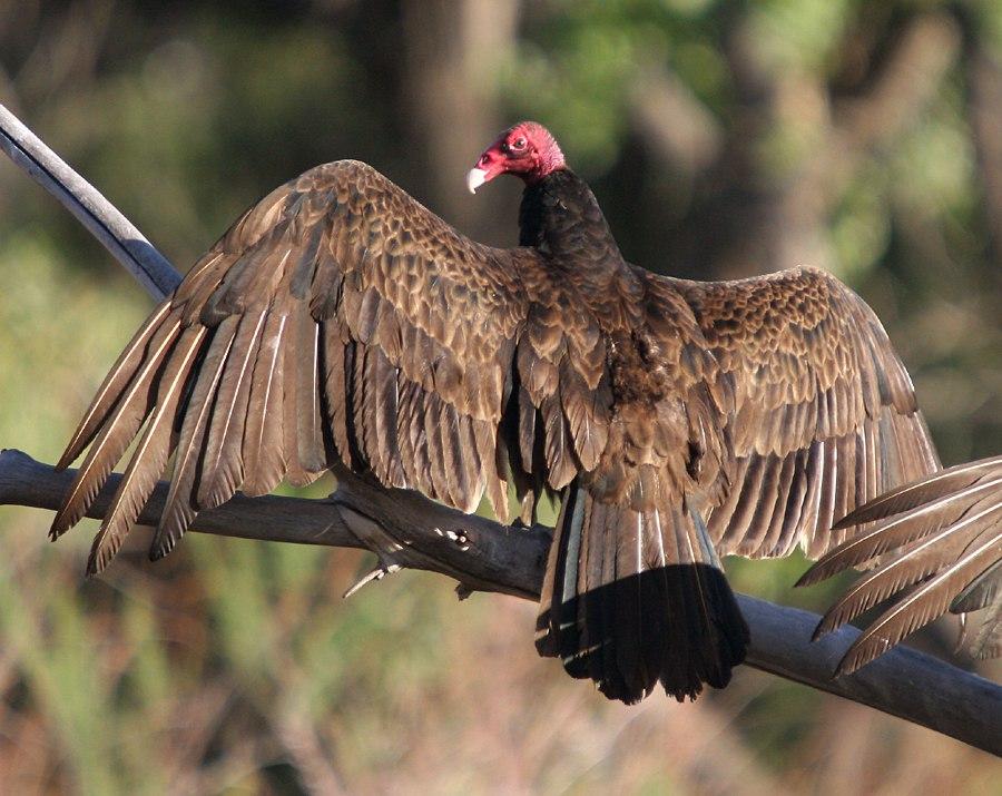 Turkey vulture Bluff