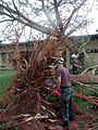 US Navy 020706-N-1485H-055 Trees blown over by Typhoon Chataan.jpg