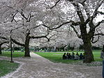 University of Washington quad at cherry blossom time