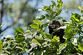 Uday Kiran Lion-tailed macaque eating leaves-4.jpg