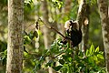 Uday Kiran Lion-tailed macaque eating leaves.jpg