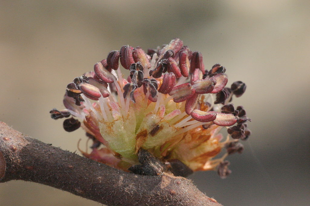 Brest horský - kvety
