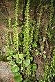 Umbilicus rupestris 060527w.jpg