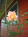 Unknown rose.JPG