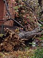 Uprooted Tree from Storm Sandy (8138950062).jpg