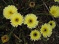 Urospermum dalechampii 3 (Espagne).JPG
