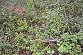 Vaccinium myrtillus in Russian Karelia.JPG