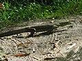 Varanus niloticus 0009.jpg