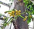 Vasconcellea cundinamarcensis -比利時國家植物園 Belgium National Botanic Garden- (9213293859).jpg