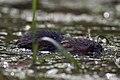 Vattensork (Arvicola amphibius) - Northern water vole – Water rat - Flickr - Ragnhild & Neil Crawford (1).jpg