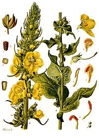 Verbascum phlomoides - Köhler–s Medizinal-Pflanzen-144