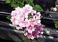 Verbena canadensis Apple Blossom 0zz.jpg