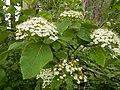Viburnum lantana (26997888680).jpg