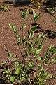Viburnum nudum 12zz.jpg