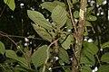 Viburnum stellato-tomentosum 3zz.jpg