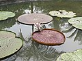 Victoria amazonica - Giant Water Lily at Nilambur (5).jpg