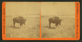 View of a Buffalo, by Reed & McKenney.png