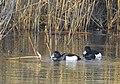 Vigg Tufted Duck (20325268056).jpg