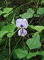 Vigna unguiculata 1.jpg