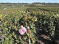 Vigne Pinot Noir (Cerseuil) Cl.J.Weber07 (23651653016).jpg